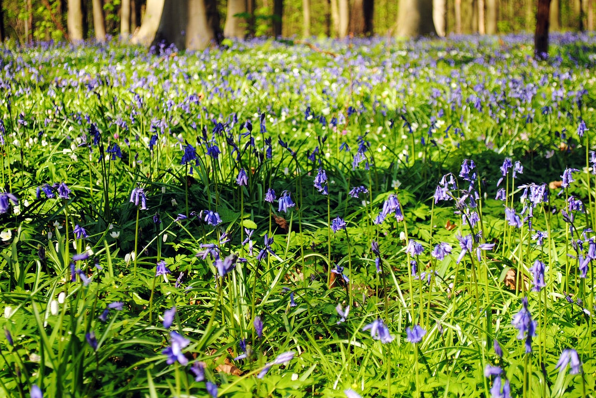 Hallerbos: an ancient forest with young trees and lots of bluebells