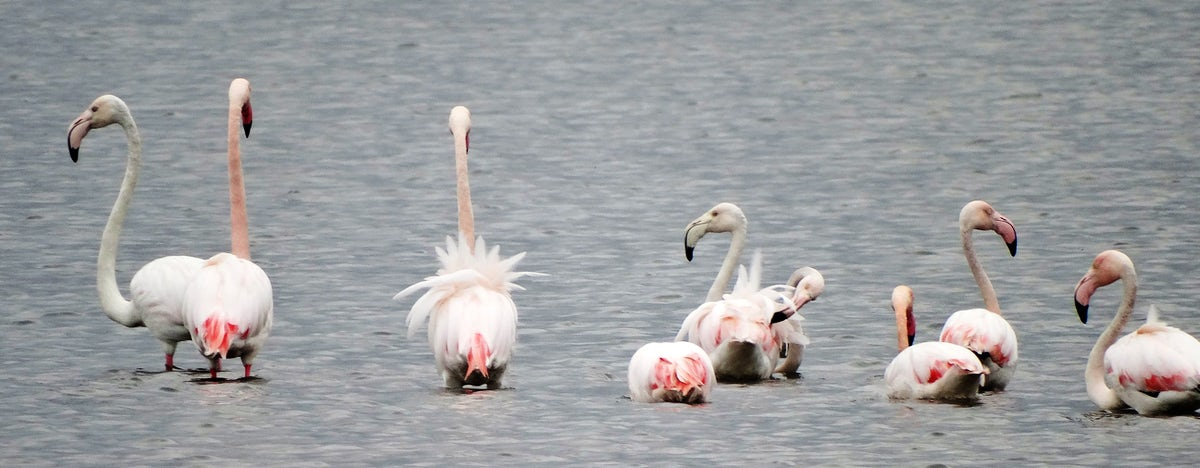 Flamingos in Montenegro - regular guests at Ulcinj Salina
