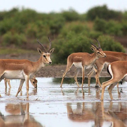 Meet gazelles in Shirvan National Park