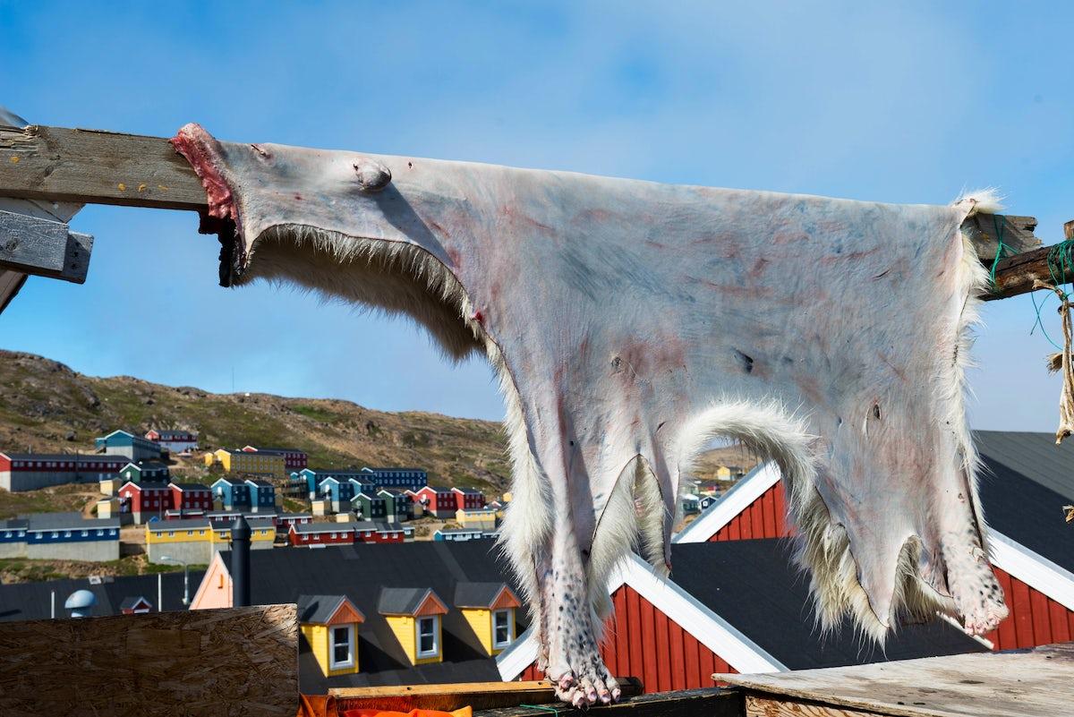 Meeting Polar Bears in Greenland