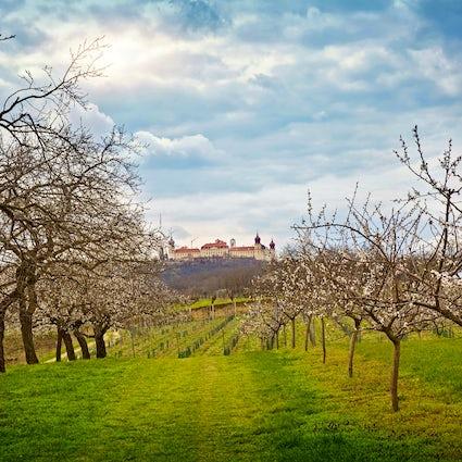 Apricots - the orange gold of Wachau