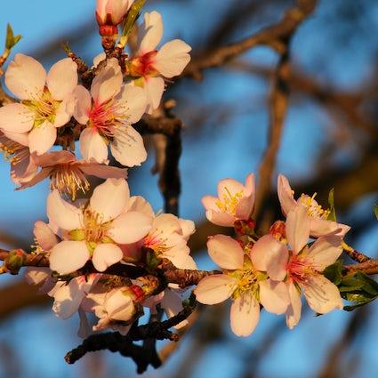 The singing apricot tree of Armenia: Duduk